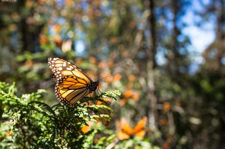 Abren santuarios de mariposa monarca en Edomex y Michoacán