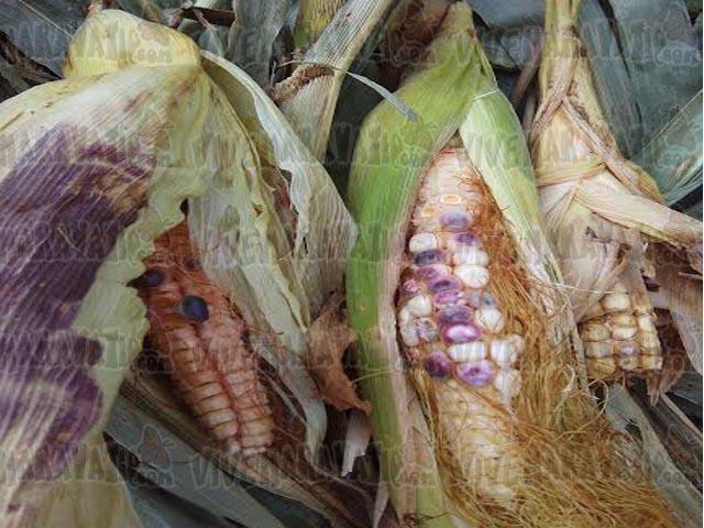 Campesinos de Maravatío podrían perder sus cosechas por falta de lluvia