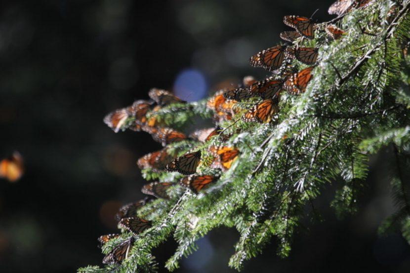 Profepa vigila que no haya tala ilegal en reservas de la Mariposa Monarca