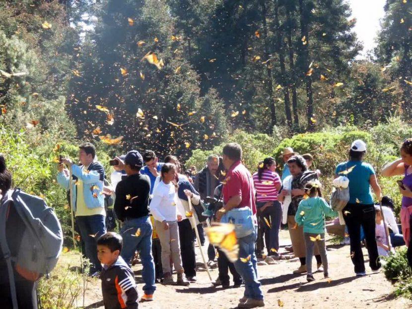 Preparan protocolos sanitarios ante llegada de la Mariposa Monarca