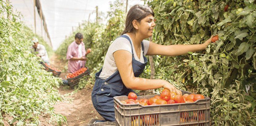 Michoacán, tercer productor de jitomate en el país