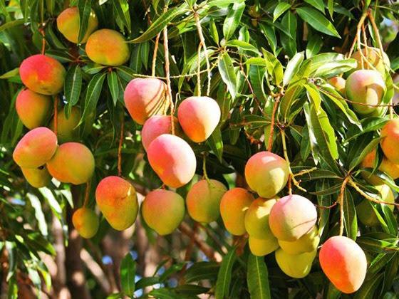 Al programa de exportación a EU, 13 mil 583 hectáreas de mango de Michoacán