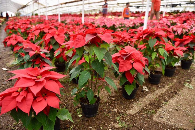 Agricultura Sustentable potenciará producción de Nochebuena de Zitácuaro