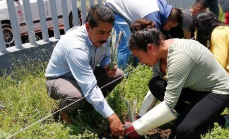 UTOM planta agave como parte de la preservación y cuidado del medio ambiente