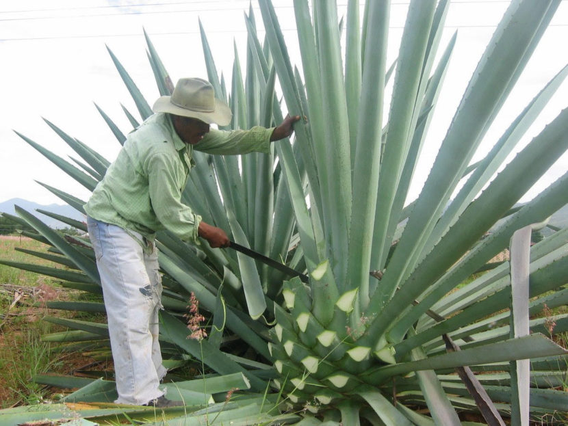 Produce Michoacán más de 750 mil litros de mezcal