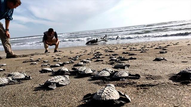Campamentos tortugueros: preservación de especies y potencial turístico