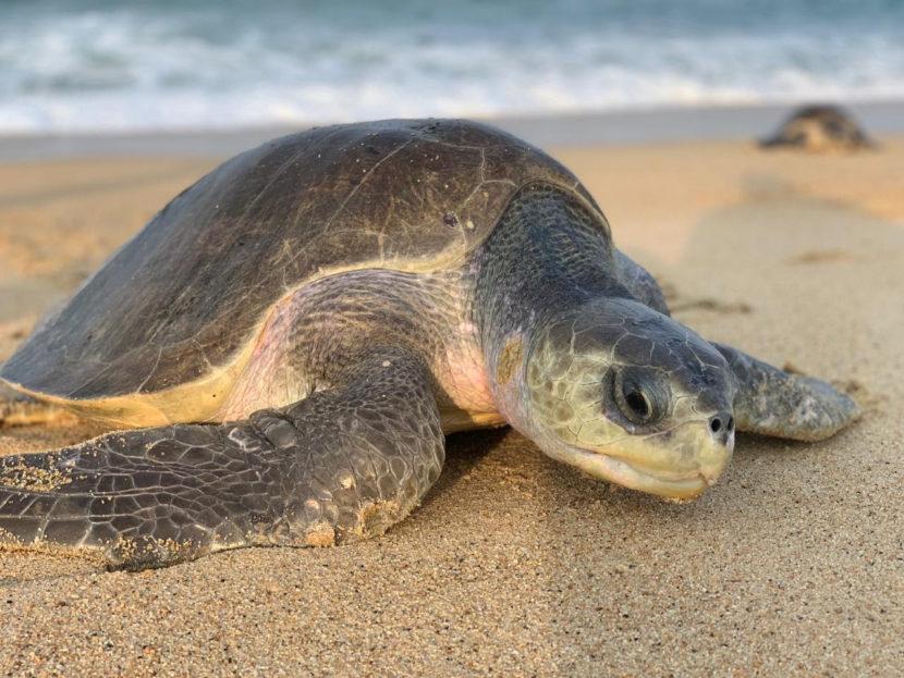 Hoy se conmemora el Día Internacional de la Tortuga Marina