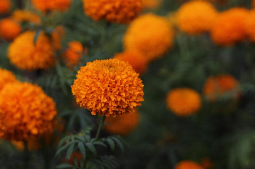 Pese a pandemia, habrá abasto de flor de cempasúchil en Michoacán