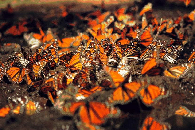 Santuarios de la Mariposa Monarca abrirán el sábado 28 de noviembre