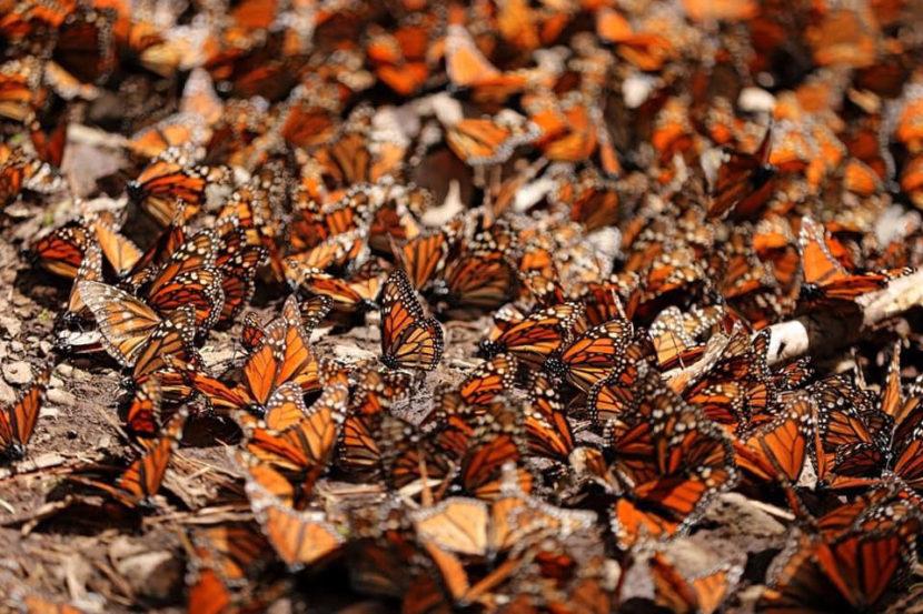 Abundante arribo de mariposas Monarca reportan santuarios en Michoacán