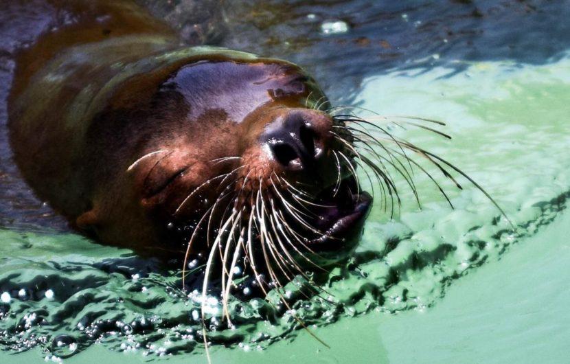 Muere hembra de lobo marino del Zoológico de Morelia
