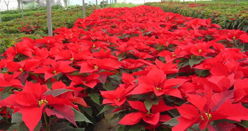 Concretan créditos a productores de flor de Nochebuena de Zitácuaro