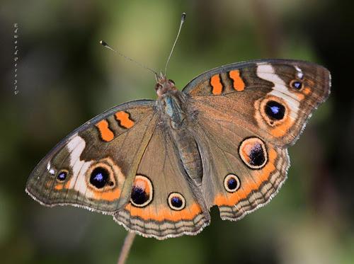 Mariposas en Michoacán, diversidad que destaca