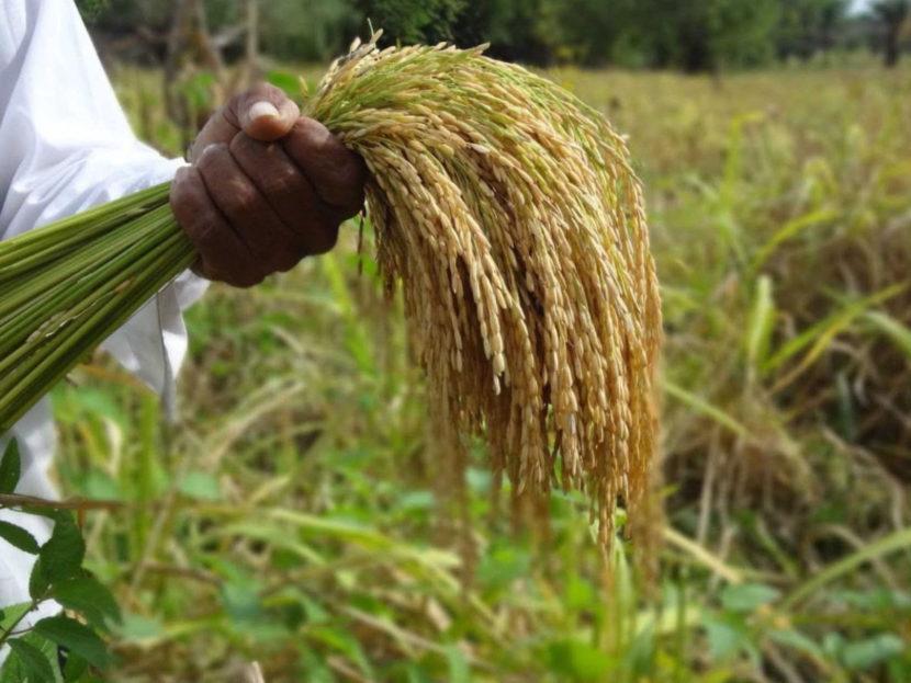 Creció 172 por ciento el valor del arroz michoacano, en cinco años