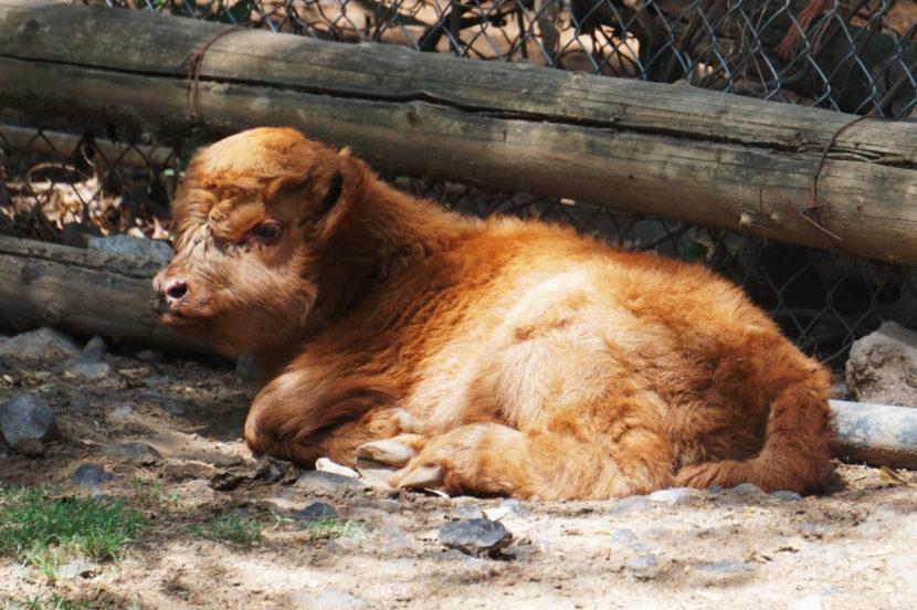 Nace búfalo escocés en el Zoológico de Morelia