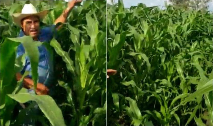 Agricultura Sustentable logra plantas de maíz de 2 metros en sólo 35 días