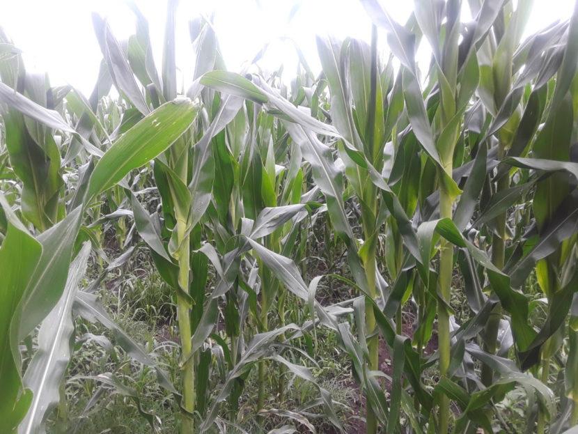 Muestran resultados de la Agricultura Sustentable en Queréndaro