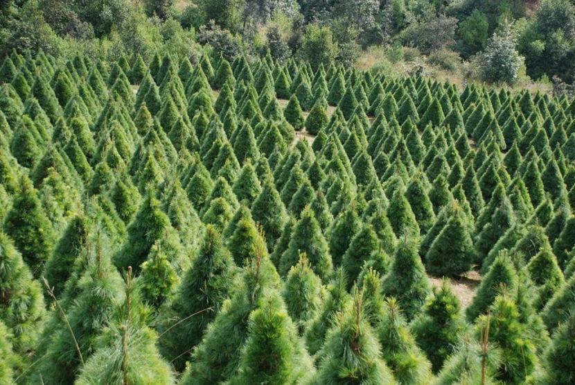 Destinarán 22 mdp para Programa de Plantaciones Forestales Comerciales en Michoacán