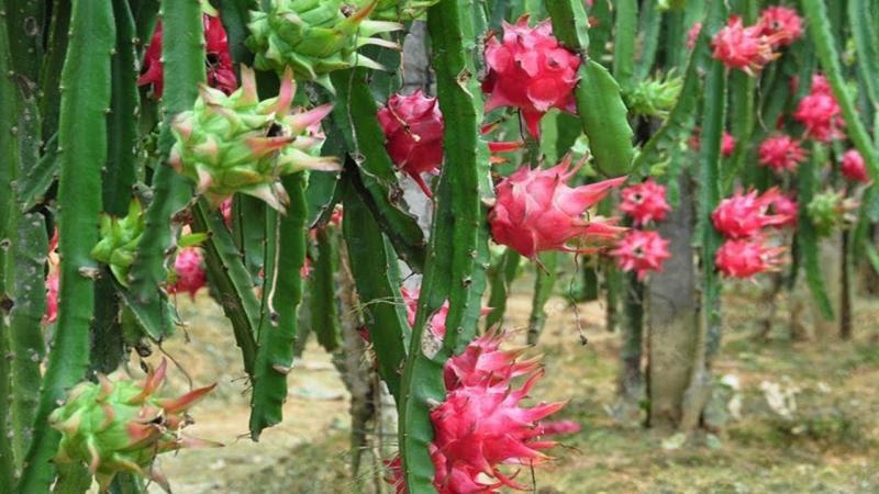 Se incorpora a la Agricultura Sustentable cultivo de pitahaya en Santa Fe