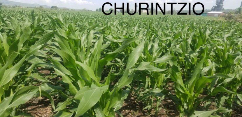 Cultivos de maíz, demuestran efectividad de Agricultura Sustentable en Michoacán