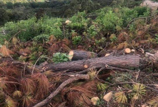 En Zitácuaro, SSP ubicó un predio en donde talaban árboles para sembrar aguacate