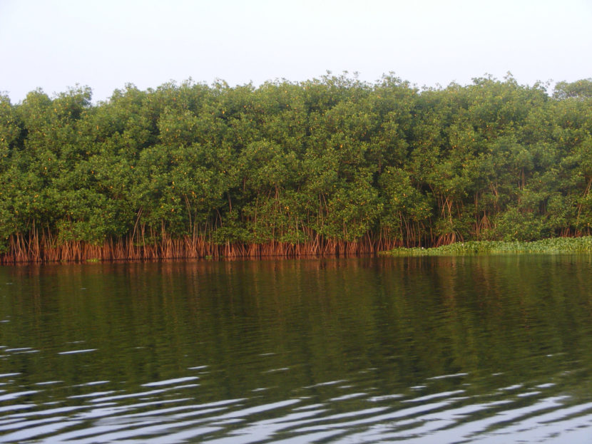 Trabaja Semaccdet para la protección y conservación de los manglares michoacanos