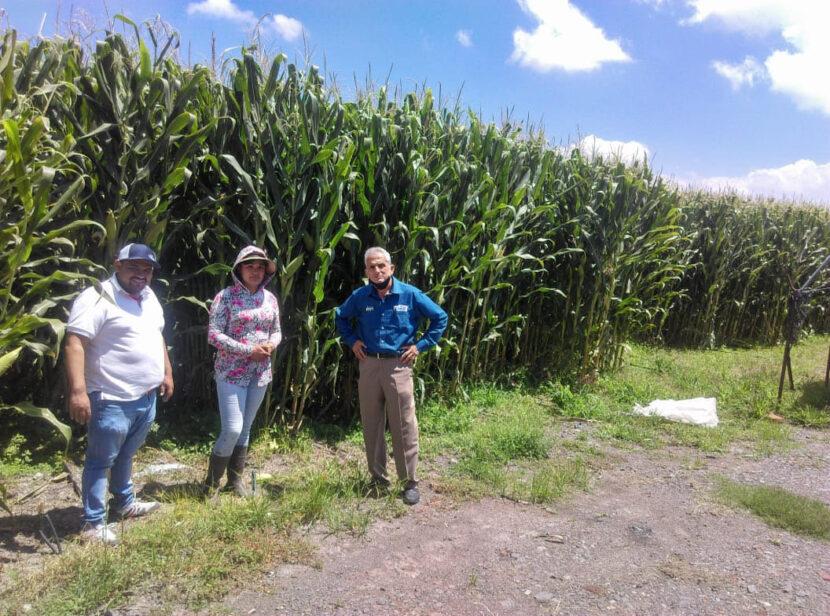 Elotes gigantes y plantas de 3.5 metros, logra Agricultura Sustentable en La Piedad