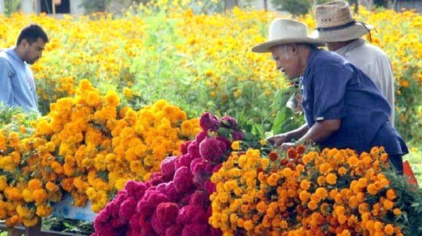 Listo el cempasúchil michoacano para la tradicional celebracione de noche de muertos