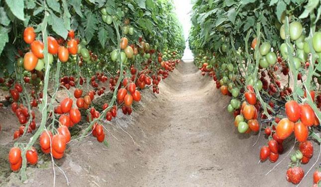 En cinco años, triplica Michoacán ingresos por producción de jitomate