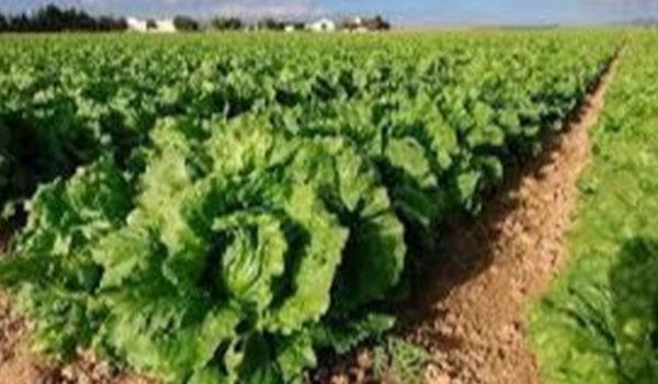 Produce Michoacán más de 15 mil toneladas de lechuga
