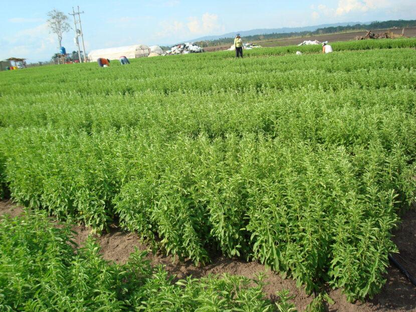 Michoacán es el 4° productor nacional de Stevia