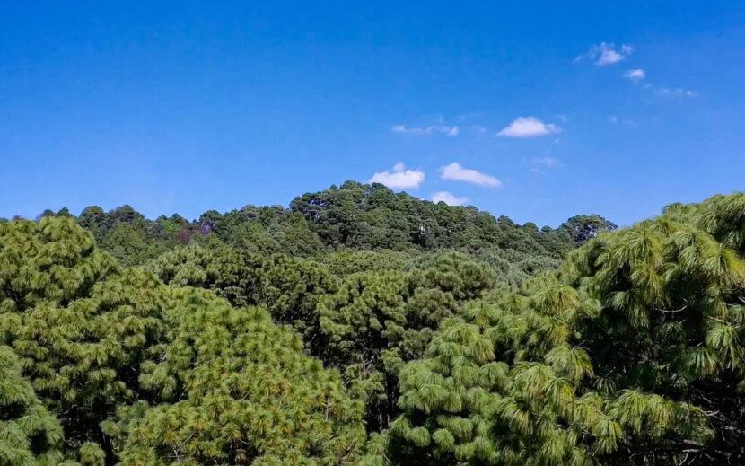Fue 2020 un gran año para la conservación de los bosques michoacanos